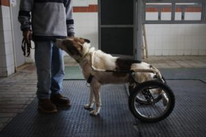 In this Wednesday, Dec. 4, 2013 photo, a zoo keeper shows Abyad on a wheeled dog cart at the Humane Center for Animal Welfare in Amman, Jordan. Abyad's legs were injured in an incident of abuse. (AP Photo/Mohammad Hannon)