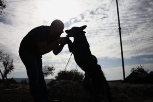 In this Friday, Nov. 22, 2013 photo, Omar Barrishi plays with his rescued 20-month-old Belgian Malinois dog, Shadow, on a picnic with rescued dogs in Ajloun, Jordan. Shadow was rescued and underwent successful surgery after his rear legs were chained until they broke in an incident of abuse.