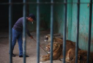 In this Sunday, Nov. 24, 2013 photo, Mahmoud, a zoo keeper, pokes lions with a metal stick to provoke them to roar as an attraction for visitors at a zoo in Amman, Jordan