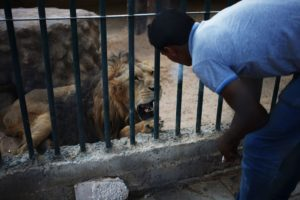 In this Friday, Aug. 9, 2013 photo, Mahmoud, a zoo keeper, blows cigarette smoke in the face of a lion, to provoke and make him roar as an attraction for visitors at a zoo in Amman, Jordan.