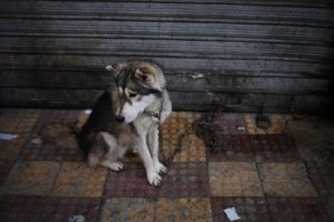 "In this Friday, Nov. 22, 2013 photo, a stolen dog is chained on a street used for the so-called ""thieves market"" in downtown Amman, Jordan."