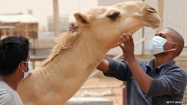 Saudi authorities have told people to wear masks around camels